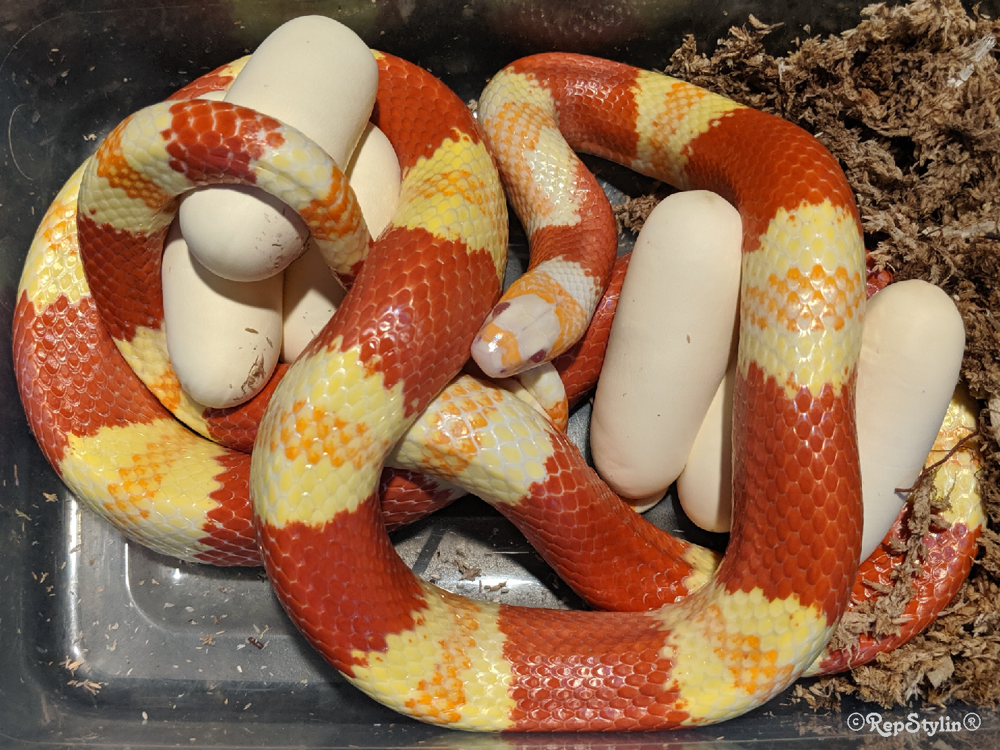 Snake Breeding Projects at RepStylin®